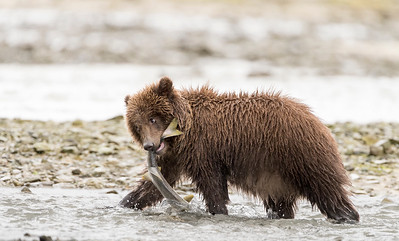 Brown Bear Cub - Getting Breakfast