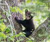 Taking a break - Little Black bear cub in Cades Cove, Great Smoky Mountains National Park
