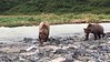 Photographing the brown bears in Geographic Harbor, Katmai National Park, Alaska