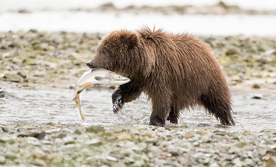 Brown bear cub with fresh salmon