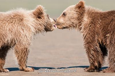 Bear Kiss - Alaskan brown bear cubs