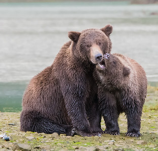 Mom being aggravated - brown bear mom and her cub