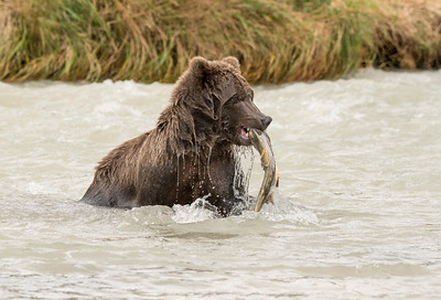 Successful Catch - Brown Bear, Geographic Harbor, Katmai National Park, Alaska