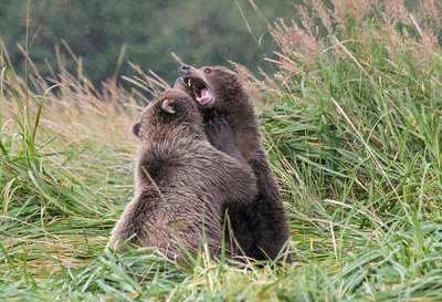 Brown Bear Cubs Settling a Disagreement