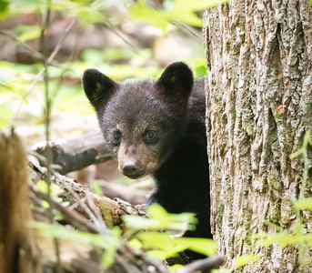 Sneaking a peek - Black bear cub