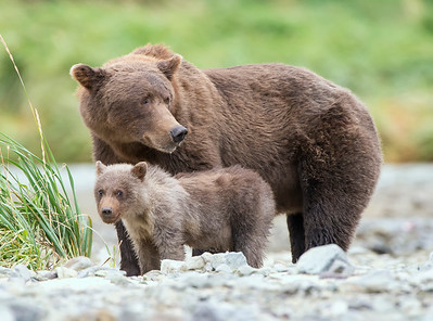 Brown Bear Cub and Mom