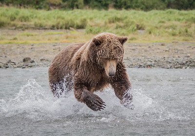 The Splash - Brown Bear hunting for salmon
