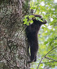 Hang in there!  Little Black bear cub in Cades Cove, Great Smoky Mountains National Park