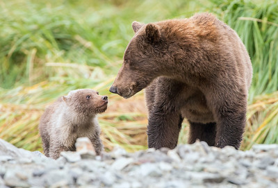 A look of love - Brown bear cub & mom