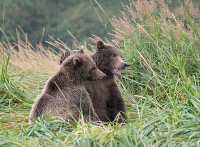 A Pat on the Head - Brown Bear Cubs