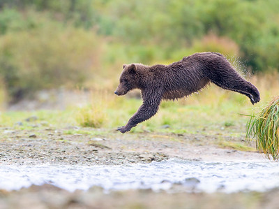 The Jumper - Brown Bear Jumping to Catch Salmon