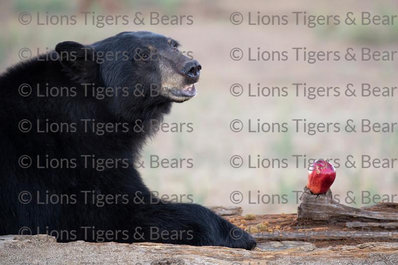 Lions Tigers & Bears in Alpine CA