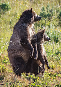 Grizzly bear and yearling cub standing for better view