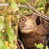 cinnamon colored Black bear Grand Teton N.P.