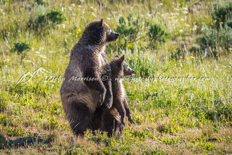 Mama Grizzly bear and her Yearling cub