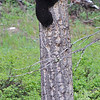 located in the Tower area of Yellowstone N.P., a Black Bear cub displays climbing skills