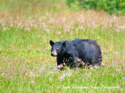 Black bear in blueberry patch (2)