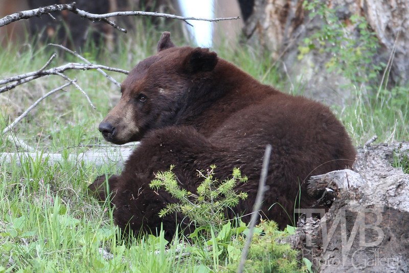 """bearly moving"" black bear ,Tower, Yellowstone"