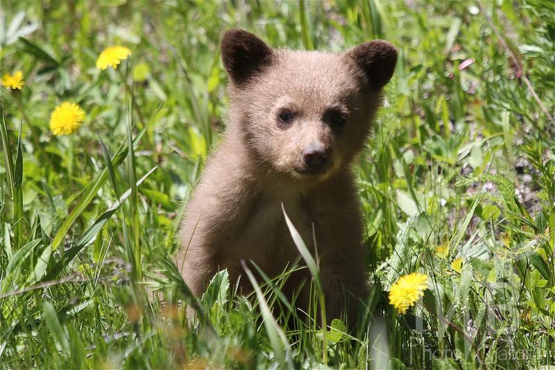 a Canadian Black Bear Cub