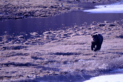 Grizzly on Blacktail Ponds