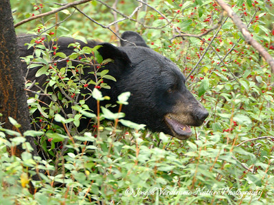 Black bear enjoying berry patch