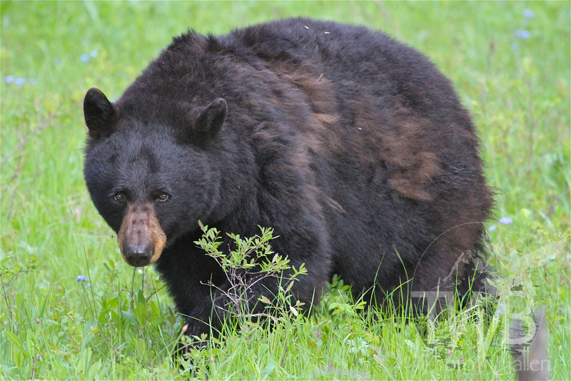 a large Black Bear at Tower, in Yellowstone