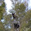 Black Bear cubs @ 60 feet