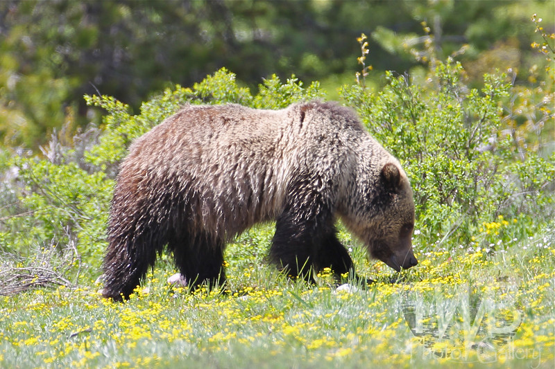 """ Blondie"" grizzly of Grand Teton N.P."