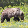 """ Blondie"" grizzly of Grand Teton N.P."