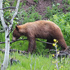 a quest for food, a brown-colored Black Bear along Many Glacier Rd. in Montana