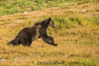 Running Grizzly Bear