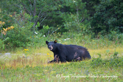 Watchful black bear (1)