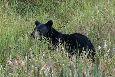Curious young black bear