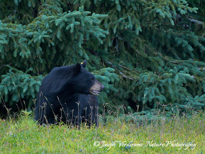 Black bear looking over shoulder