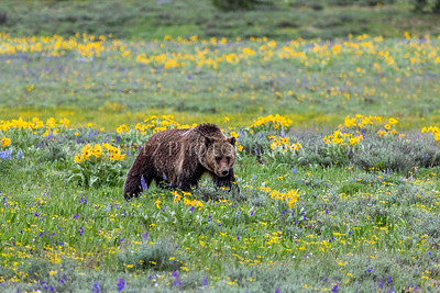 Grizzly Bear Flowers