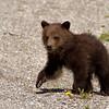 Grizzly Cub_9042_9x12