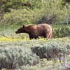 a Colter Bay young Grizzly early morning