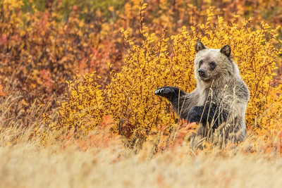 Grizzly Cub Standing (fall foliage)