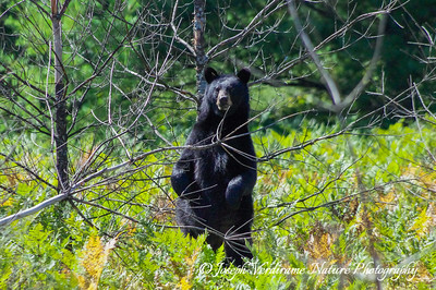 Black bear sow standing