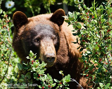 Cinnamon Black Bear and Berries