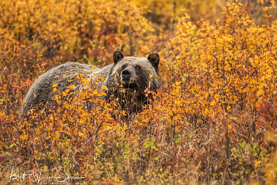 Sow Grizzly Fall Colors #2