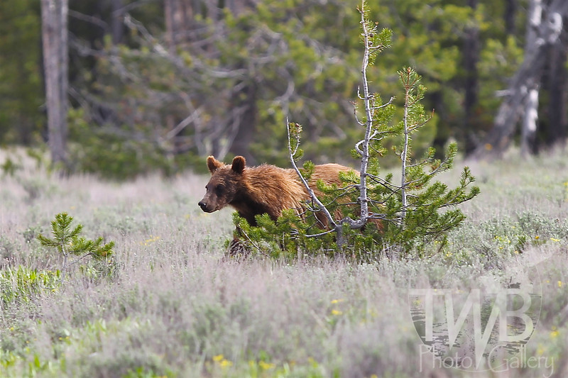 gaining strength and confidence, a young grizzly  roaming in her territory