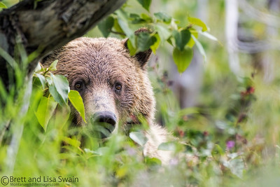 Peek-a-boo Grizzly