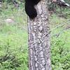 """how am i doing ?"" black bear cub  climbing high"