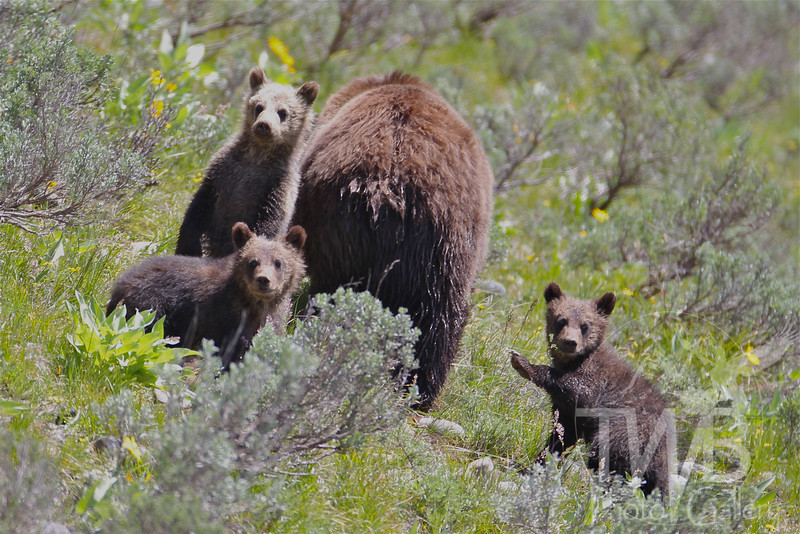 """""""mom"""" and the kids,late spring , near Coulter bay , Grand Tetons N.P."""