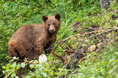 Small Cinnamon Black Bear