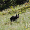 a hillside in Waterton N.P. , Canada; offers prime territory for this Black Bear