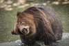 Kodiak Bear shaking a lot of water off.