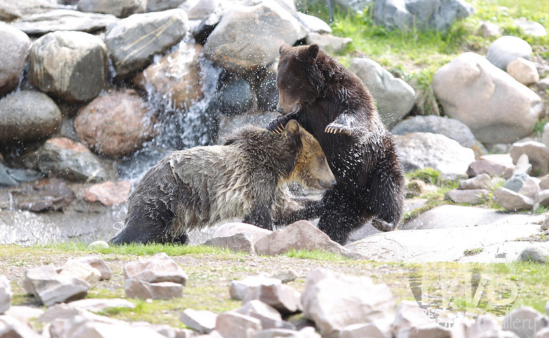 a watery wrestling match for two young Grizzly Bears