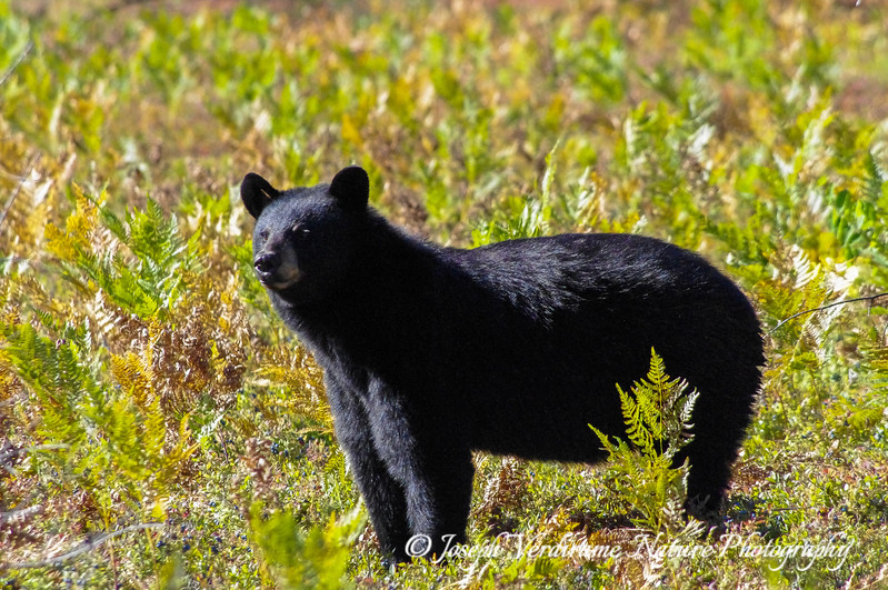 Black bear sow in blueberry patch (2)